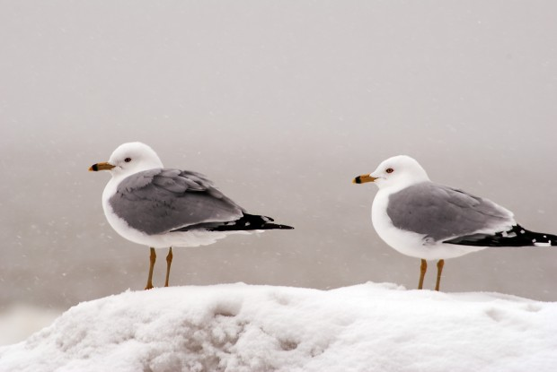 Seagulls in the Snow, by Alexandra Ritchie--4-25-13