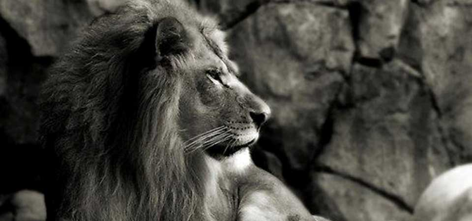 Lion and his Thoughts